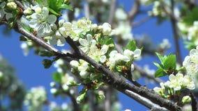 Flores del cerezo metrajes