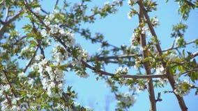 Flores del cerezo almacen de metraje de vídeo
