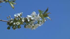 Flores del cerezo almacen de video