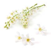 Flores del cerezo del pájaro Fotografía de archivo libre de regalías