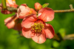 Flores del Chaenomeles Foto de archivo
