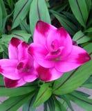 Flores del chapoteo de la cúrcuma imagen de archivo libre de regalías