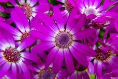 Flores del Cineraria Fotos de archivo libres de regalías