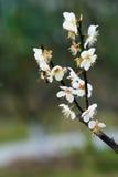Flores del ciruelo Fotografía de archivo