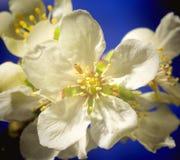 Flores del ciruelo imagenes de archivo