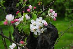 Flores del ciruelo Foto de archivo