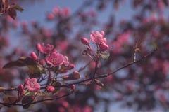 Flores del ciruelo de cereza Imagen de archivo