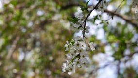 Flores del ciruelo en la primavera