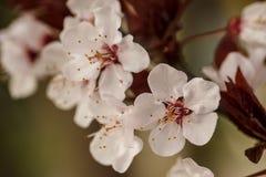Flores del ciruelo en la primavera Fotos de archivo libres de regalías
