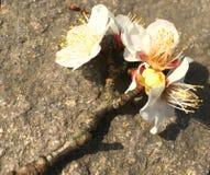 Flores del ciruelo en la roca imagenes de archivo