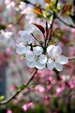 Flores del ciruelo en resorte Fotos de archivo libres de regalías