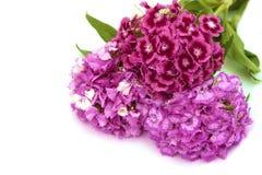 Flores del clavel imágenes de archivo libres de regalías