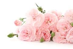 Flores del clavel Fotos de archivo libres de regalías
