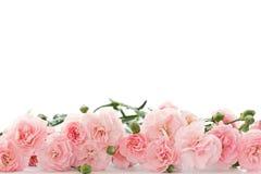 Flores del clavel Imagen de archivo libre de regalías