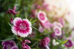 Flores del clavel en el jardín Imágenes de archivo libres de regalías