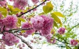 Flores del clavel, suavemente rosa Fotografía de archivo libre de regalías