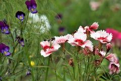 Flores del clavel turco y pensamientos con un insecto que se sienta en ellos imagen de archivo