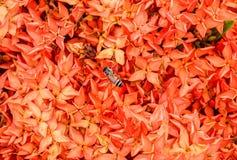 Flores del coccinea de Ixora de la abeja y del rojo Foto de archivo libre de regalías
