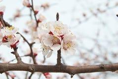 Flores del color de rosa del árbol de almendra. Fotografía de archivo