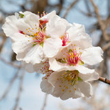 Flores del color de rosa del árbol de almendra. Imagen de archivo