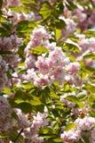 Flores del color de rosa del detalle de la ramificación del cerezo del resorte Fotos de archivo libres de regalías
