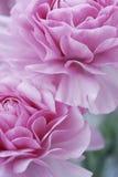 Flores del color de rosa en colores pastel Fotografía de archivo