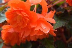 Flores del color del escarlata de la begonia en tiempo nublado fotos de archivo libres de regalías