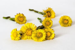 Flores del Coltsfoot fotografía de archivo