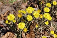 Flores del Coltsfoot, farfara del Tussilago Imágenes de archivo libres de regalías
