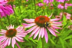 Flores del cono en un jardín. Imagen de archivo