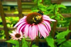 Flores del cono en un jardín. Foto de archivo libre de regalías