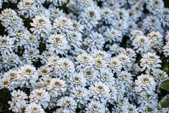 Flores del copo de nieve de los sempervirens del Iberis Foto de archivo libre de regalías
