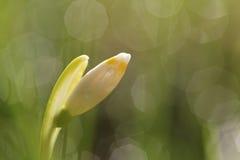 Flores del copo de nieve en un jardín Fotos de archivo libres de regalías