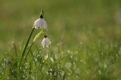 Flores del copo de nieve en un jardín Fotografía de archivo libre de regalías