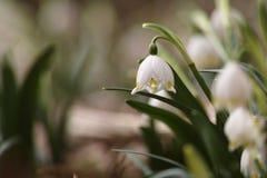 Flores del copo de nieve en un jardín Fotografía de archivo