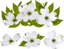 Flores del cornejo Imagen de archivo libre de regalías