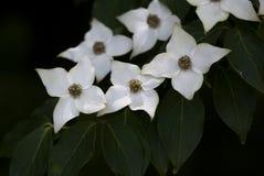 Flores del cornejo Imagenes de archivo