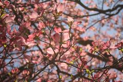 Flores del cornejo de la primavera Imagen de archivo