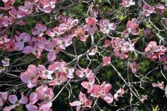 Flores del cornejo de la primavera Imagen de archivo libre de regalías