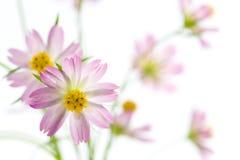 Flores del cosmos Foto de archivo libre de regalías