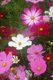 Flores del cosmos fotografía de archivo libre de regalías