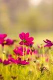 Flores del cosmos Imagen de archivo