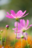Flores del cosmos Fotos de archivo