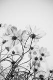 Flores del cosmos Imágenes de archivo libres de regalías