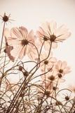 Flores del cosmos Imagenes de archivo