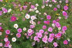 Flores del cosmos Fotos de archivo libres de regalías