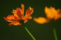 Flores del cosmos Imagen de archivo libre de regalías