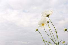 Flores del cosmos Foto de archivo