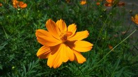 Flores del cosmos del azufre Foto de archivo libre de regalías