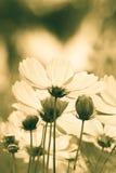 Flores del cosmos del vintage Fotografía de archivo